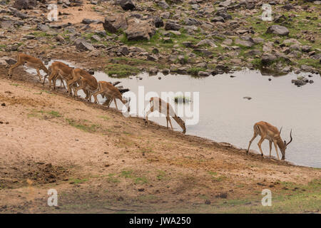 Breeding group of impala (Aepyceros melampus) drink at a watering point in Ruaha National Park, Tanzania - Stock Photo
