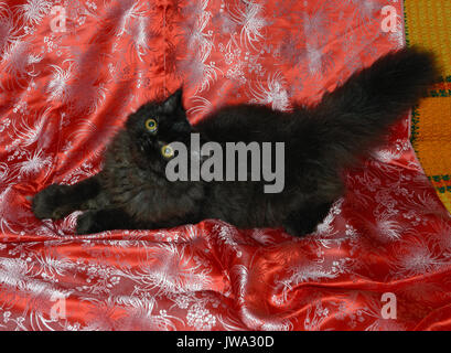 Close-up high angle view of black kitten that is on bright red sofa coverlet background. - Stock Photo