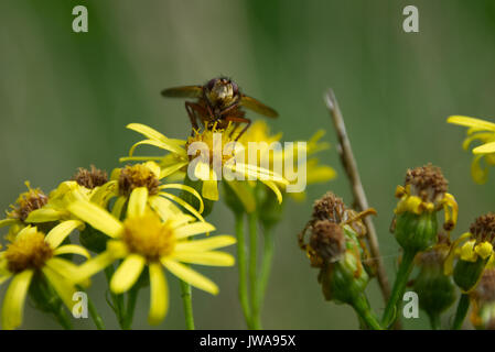 Close up portrait of hoverfly collecting pollen nectar from yellow ragwort flower - Stock Photo