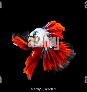 Thai betta fishing fish swimming isolated on black background - Stock Photo