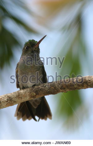 Charming hummingbird,Amazilia decora,also known as beryl-crowned hummingbird. - Stock Photo