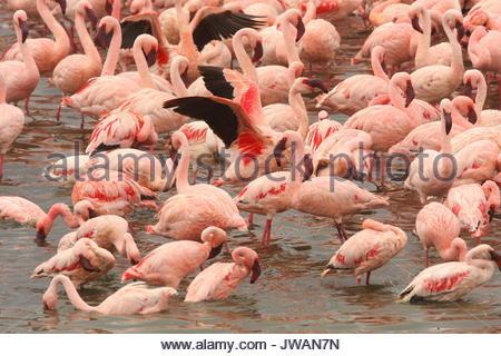 Lesser flamingos,Phoeniconaias minor. - Stock Photo