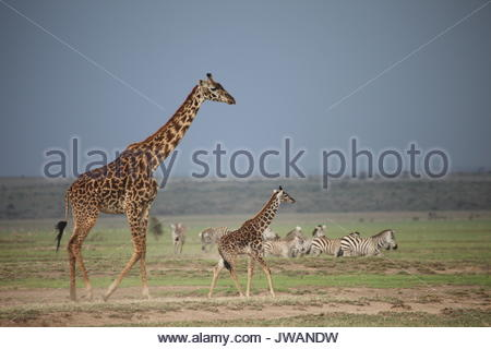 Giraffes,Giraffa camelopardalis,and zebras. - Stock Photo