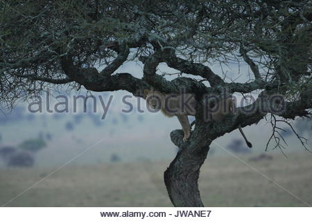 Lion,Panthera leo. It is rare to see a lion in a tree. Lions are the biggest cats and just like a house cat,this - Stock Photo