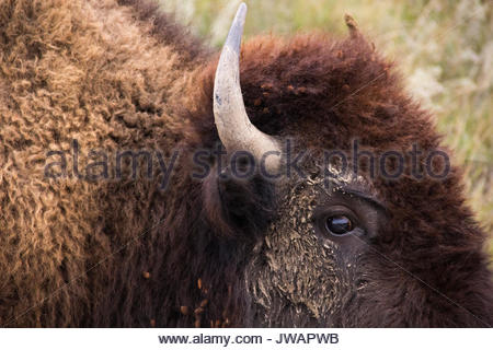 Close view of the eye and horn of an American bison. - Stock Photo