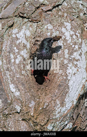 Common starling / European starling (Sturnus vulgaris) at nest hole in hollow tree in spring
