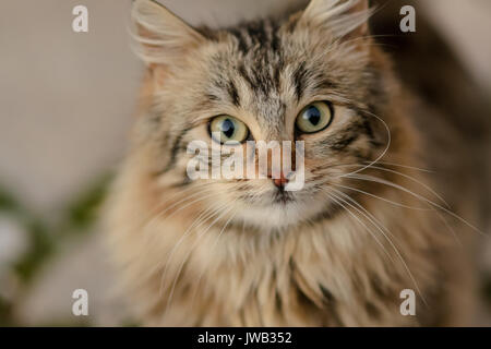 Lose up of the face of a striped brown and grey cat with blurred background. Landscape format. - Stock Photo