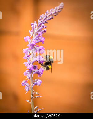 Exeter, UK - June 10, 2017: A macro shot of a Buff Tailed Bumble Bee pollinating with a garden fence as the background - Stock Photo