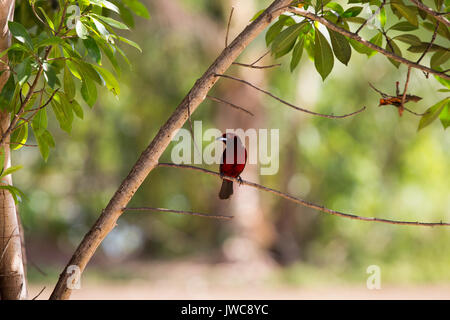 In Isla Coiba National Park,a crimson back tanager bird sits perched on a tree limb. - Stock Photo