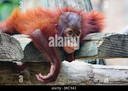 A baby Orangutan playing around on a primate platform. - Stock Photo