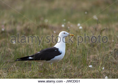 Portrait of a lesser black-backed gull,Larus fuscus. - Stock Photo