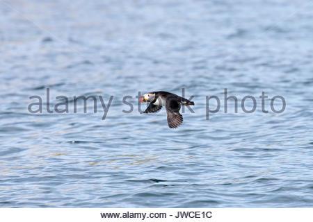 An Atlantic puffin,Fratercula arctica,in flight. - Stock Photo