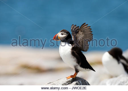 An Atlantic puffin,Fratercula arctica,spreads its wings. - Stock Photo