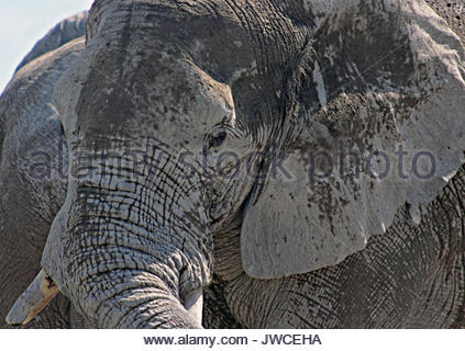 A mud covered African elephant. - Stock Photo