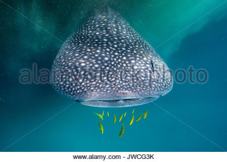 A whale shark and golden trevally swim by a patch of Trichodesmium algae. - Stock Photo