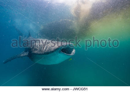 Whale shark feeding on shrimp near a patch of Trichodesmium algae. - Stock Photo
