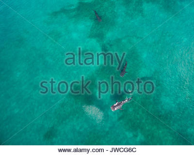 Aerial view of whale sharks. - Stock Photo