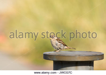 A female House Sparrow perched on a metal stand. - Stock Photo