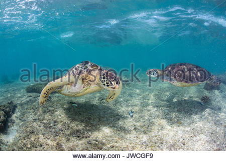 Two green sea turtles swim over a shallow reef looking for food. - Stock Photo