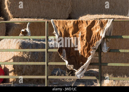 Hay bales, cow skull and hide on a ranch in Nevada. - Stock Photo