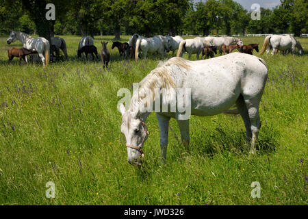 White Lipizzaner mare horse breed with dark foals grazing in a meadow with grass and flowers at the Lipica Stud - Stock Photo