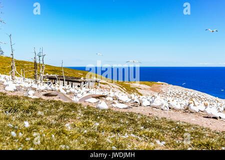 White Gannet birds colony nesting on cliff with one bird landing on Bonaventure Island in Perce, Quebec, Canada - Stock Photo
