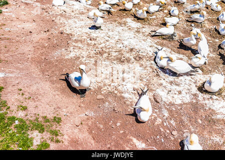 Closeup down view of white Gannet birds colony nesting on cliff on Bonaventure Island in Perce, Quebec, Canada by - Stock Photo