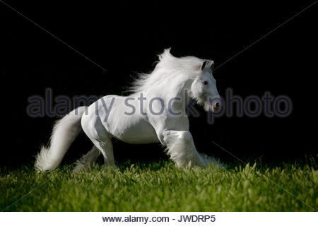 Grey Gypsy Vanner Irish Cob stallion in motion photographed in Italy. - Stock Photo