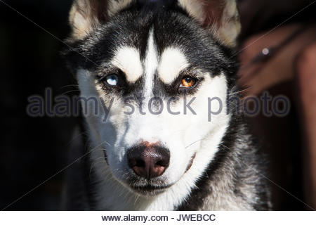 Dog portrait Husky brown and blue eyes portrait dog looking at camera detail dog close up seeing eye dog face black - Stock Photo