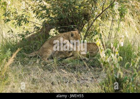Tiny lion cub playing with sleeping older cub, Masai Mara Game Reserve, Kenya
