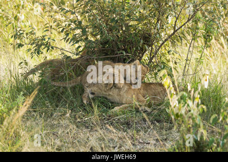 Tiny lion cub playing with older cub that was sleeping, Masai Mara Game Reserve, Kenya - Stock Photo