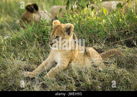 Tiny lion cub awake while the rest of the pride sleeps in the shade, Masai Mara Game Reserve, Kenya - Stock Photo