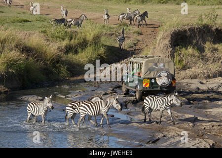 Safari vehicle crossing river where Burchell's (common or plains) zebras were drinking, Masai Mara Game Reserve, - Stock Photo