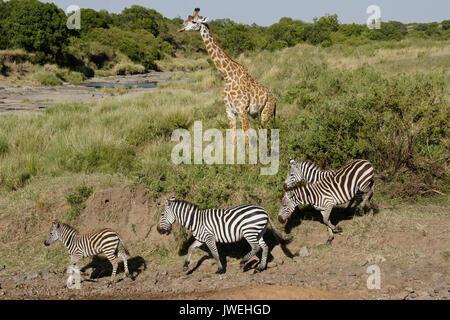 Burchell's (common or plains) zebra heading to river while Masai giraffe looks on, Masai Mara Game Reserve, Kenya - Stock Photo
