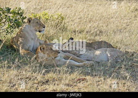Lion cubs nursing while mothers rest in shade, Masai Mara Game Reserve, Kenya - Stock Photo