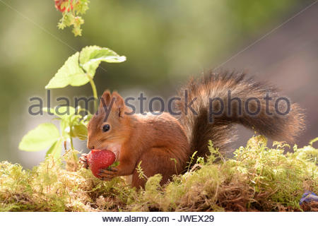 red squirrel eating strawberries - Stock Photo