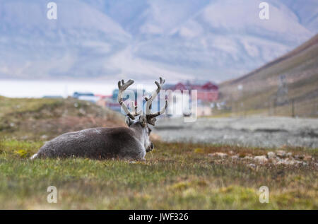 reindeer resting at night in front of Longyearbyen, Svalbard, Arctic - Stock Photo