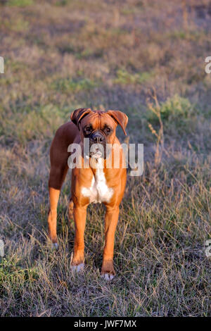 Boxer Male standing in meadow, watching - Stock Photo