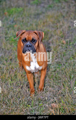 Boxer Male standing in meadow, curious portrait - Stock Photo