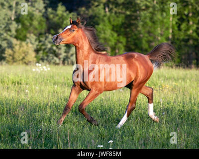 Beautiful Bay Arabian Foal running in summer meadow, alert. - Stock Photo