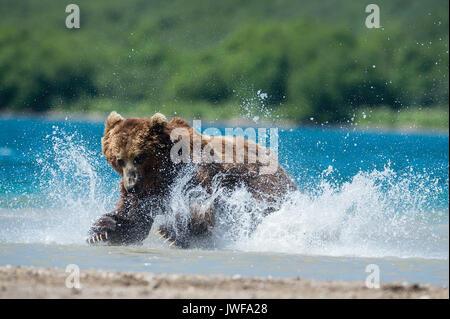 Brown bear pouncing on sockeye salmon in the rivers around Kuril Lake Kamchatka, Russia. - Stock Photo