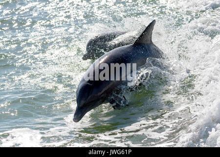 Bottlenose dolphins (Tursiops truncatus) breaching near Marco Island, Florida, USA - Stock Photo