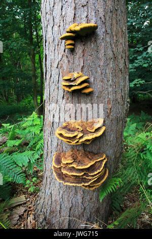 Bracket fungus, rusty gilled polypore, Gloeophyllum sepiarium, Upper Hollesley Common, Suffolk, England, UK - Stock Photo