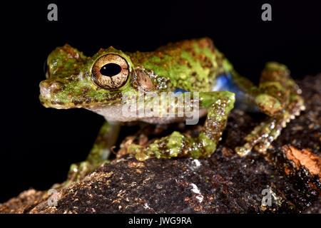 Forest Bromeliad Treefrog, Osteocephalus cabrerai - Stock Photo