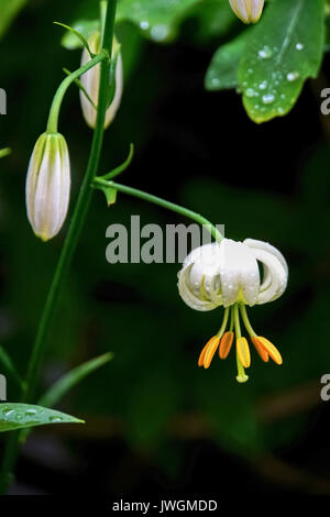 Lilium martagon var (Martagon lily or Turk´s cap). Photographed in Latvia - Stock Photo