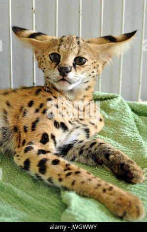 The serval is a medium sized cat. It is a strong yet slender animal, with long legs and a fairly short tail. - Stock Photo