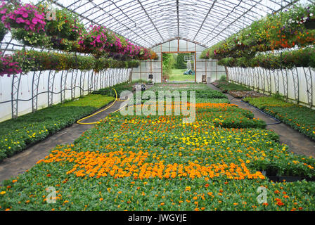 Potted Marigold Plants and Hanging Flower Baskets in a Green house - Stock Photo