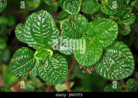 Lemon balm grows in clumps and spreads vegetatively as well as by seed. - Stock Photo
