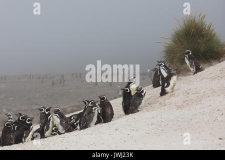 Magellanic penguins on Carcass Island - Stock Photo