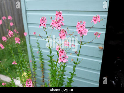 Pink flowers growing next to a pale blue green  painted garden shed in a Cardiff garden UK  KATHY DEWITT - Stock Photo